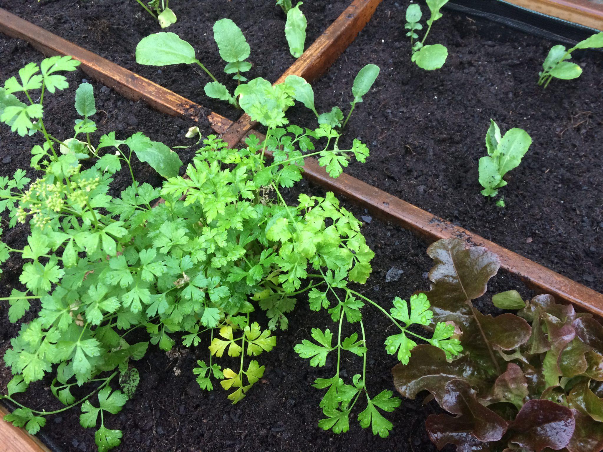 Asociaci n de cultivos las claves para comprenderla y for Asociacion de cultivos tomate